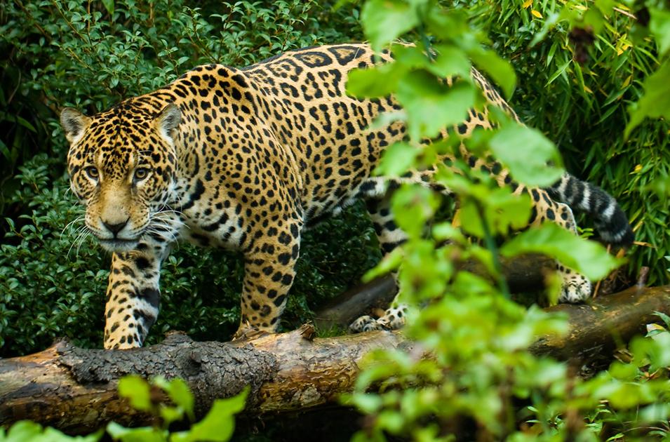 báo đốm mỹ là chúa tể ở rừng nhiệt đới Amazon