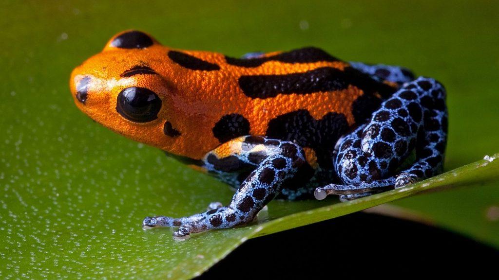 họ ếch phi tiêu độc có nhiều màu rực rỡ