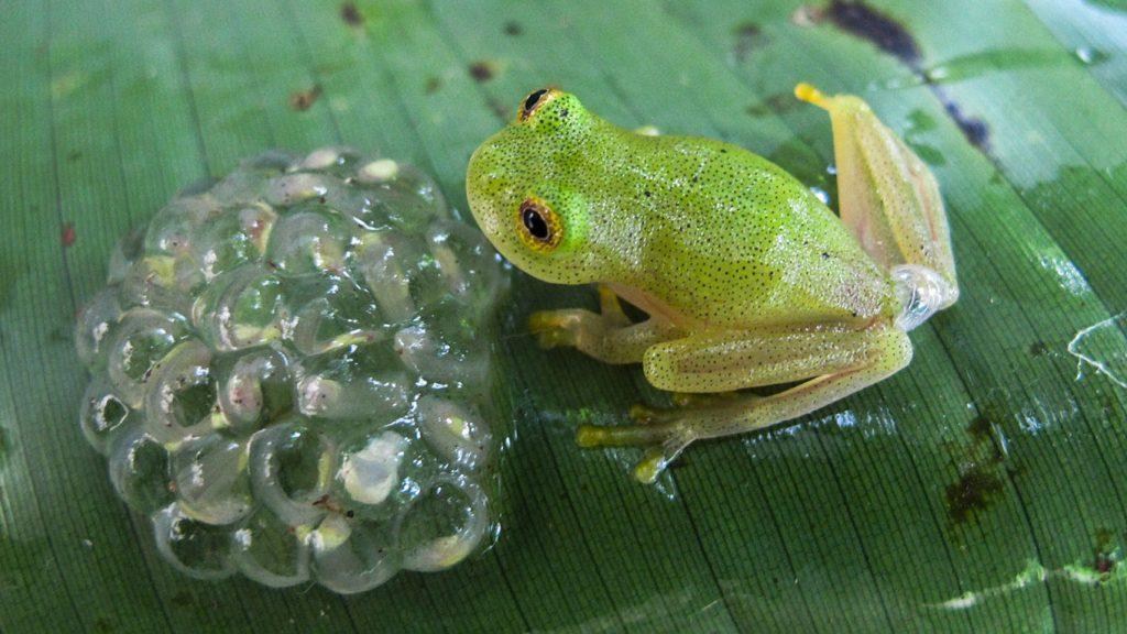 ếch thủy tinh