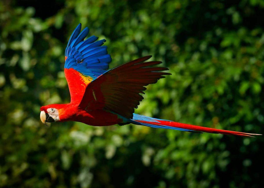 vẹt đuôi dài rất chung tình